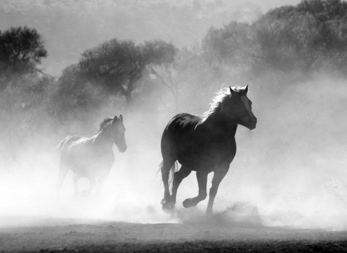 All'asta i cavalli della polizia municipale