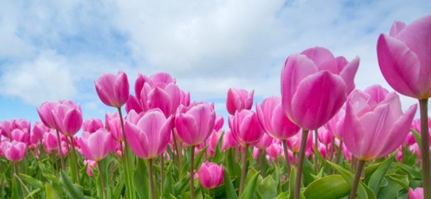EURES: cercasi lavoratori stagionali per azienda svedese specializzata nella coltivazione di tulipani